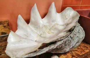 Non solo fossili: la Tridacna!